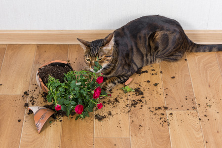 Domestic cat breed toyger dropped and broke flower pot with red roses. Concept of damage from pets. Reklamní fotografie