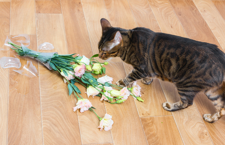 Cat breed toyger dropped and broken glass vase of flowers. Imagens
