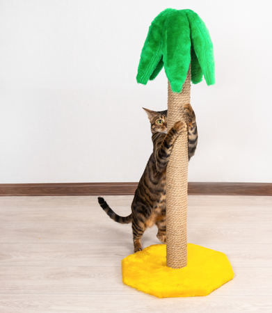 Cat breed Toyger sharpening claws on claw sharpener in the shape of palm tree.