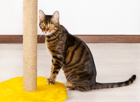 Domestic cat breed Toyger sits near claw sharpener