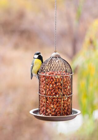 Great tit eats peanuts from a bird feeder. Autumn.