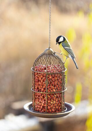 Great tit sits on a bird feeder and is going to eat forage. The concept of helping birds survive hunger.