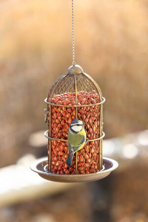 Blue tit eat food from the feeder. Vintage style metal feeder with raw peanuts. The concept of helping birds survive hunger.