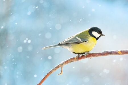 Great tit on a branch on a sunny winter snowy day. Banque d'images
