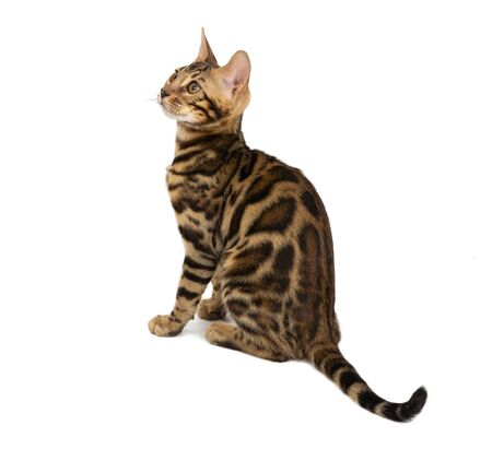 Beautiful 4 month old Bengal kitten with large rosettes and clean background isolated on white background. Black spotted tabby bengal kitten. Standard-Bild