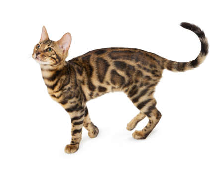 Cute 5 month old Bengal kitten with large rosettes isolated on white background. Black spotted tabby bengal kitten. Foto de archivo