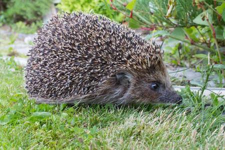 Hedgehog in a meadow with grass. Archivio Fotografico