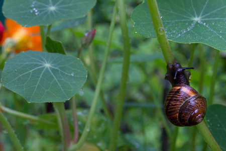 Snail on the green leaves of nasturtium. 版權商用圖片