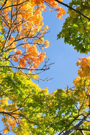 Autumn maple branches with colorful foliage against the sky.