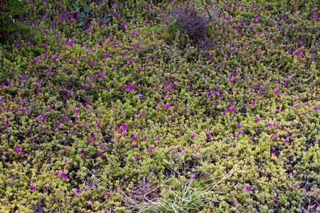Iceplant succulent blooming with small vibrant purple flowers, fresh wild plant texture close up