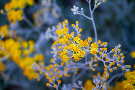 Tanacetum daisy vibrant yellow flowers with blue gray stems and leaves, colorful floral close up photo Stok Fotoğraf
