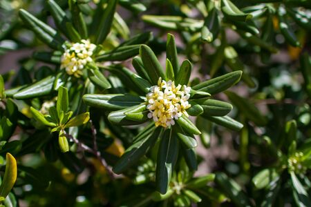 Pittosporum tobira - Australian Laurel leaves and flowers, spring blooming, sunny day, plant detail close up