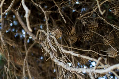 Dry stone pine tree branch with lots of cones, plant detail close up Stok Fotoğraf