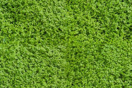 Corsican carpet plant, small vibrant green leaves, creeping herb, fresh wild plant seamless texture close up