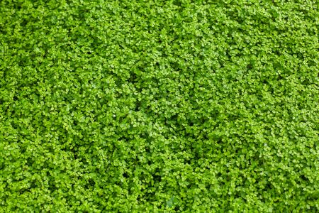 Corsican mint carpet plant, small vibrant green leaves, creeping herb, fresh wild plant texture close up