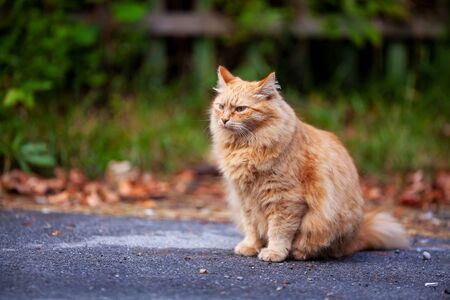 Lonely homeless furry red cat sitting on the street and looking with pride, adorable outdoor pet portrait