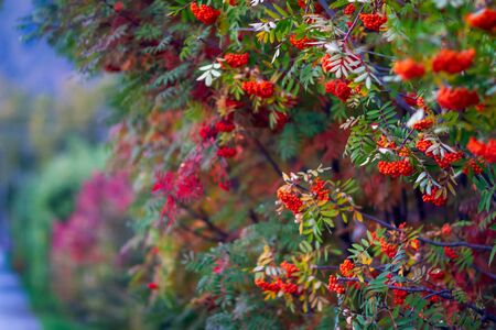 Red and green rowanberry leaves and fruits, tree alley, plant close up photo