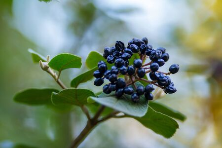 Black chokeberry branch with leaves, fresh fruit on a tree, plant close up photo