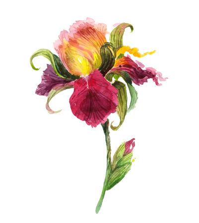 아름 다운 수채화 아이리스 꽃 일러스트
