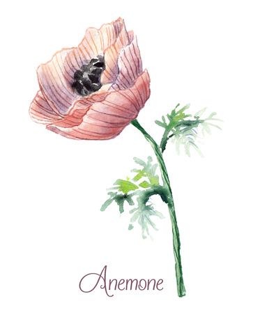 Delicate watercolor anemone . 일러스트