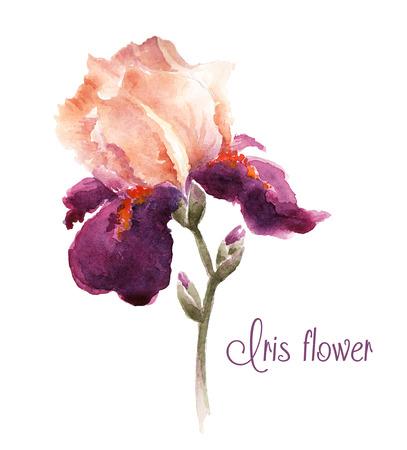 Burgundy watercolor iris flower 일러스트