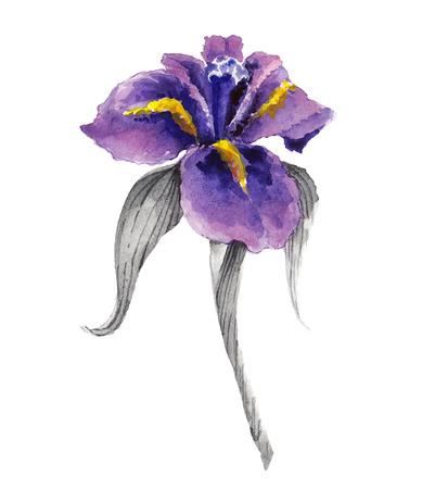 Violet watercolor iris flower Illustration