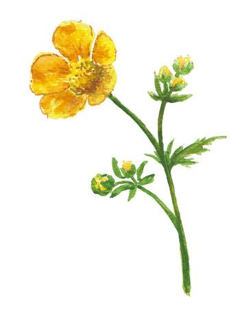 buttercup  decorative: Buttercup yellow flower