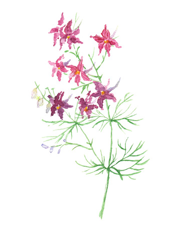 buttercup  decorative: Small wild violet flowers Illustration