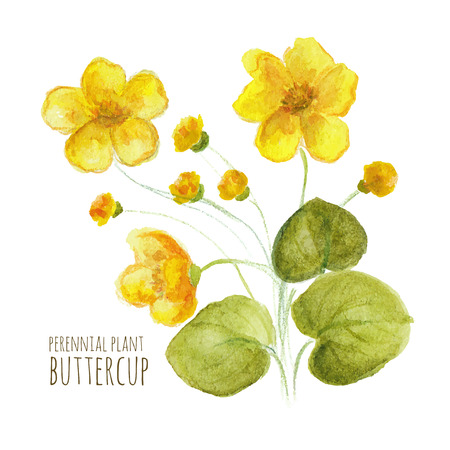 perennial: Buttercup perennial flower on white background. Watercolor floral illustration.