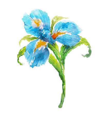 iris flower: Blue watercolor iris flower. Watercolor floral illustration.
