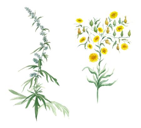 ajenjo: Acuarela ilustraci�n vectorial con flores silvestres en el fondo blanco Vectores