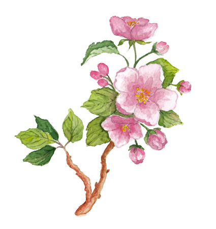 beautyful: Watercolor branch of cherry blossoms. Vector illustration on white background