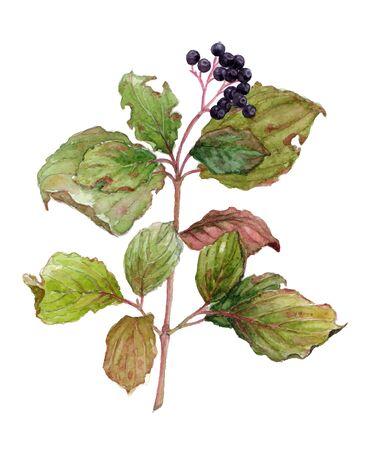 leaves green: Watercolor branch of elderberry. Botanical vector illustration on white background