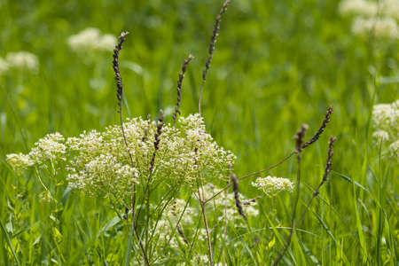 milfoil: Field with meadow herb. White milfoil. Floral natural background