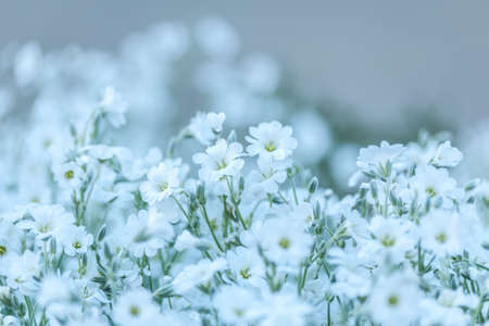 glade: Glade of white delicate flowers. Flowers of Cerastium. Floral background Stock Photo