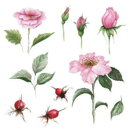 Watercolor botanical illustration of dogrose. Medicinal plant. Floral set of pink flowers, buds, leaves and fruits. Stock fotó - 99659834