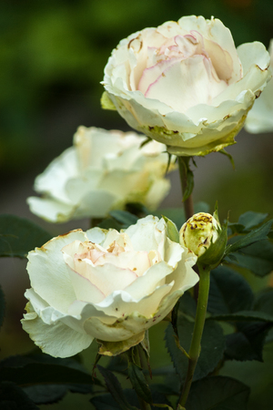 Bunch of cream color delicate roses. Tender white rose. Bouquet of blossoming roses.