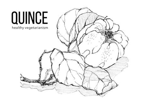 Sprig of ripe quince on white background. Ink sketch. Illustration for label, sticker, package design, t-shirt design, pillow, banner