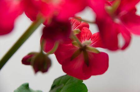 scarlet geranium flower