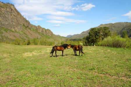 grazed: Two horses are grazed on a meadow among mountains