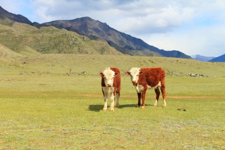 grazed: Two bull-calves are grazed on a meadow in mountains
