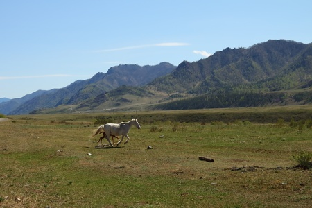 Horse with a foal skip among mountains photo