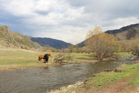grazed: Horses are grazed on a meadow at the river among mountains