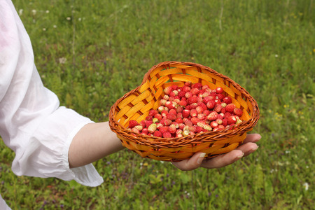 Ripe wild strawberry in a basket in female palm outdoors