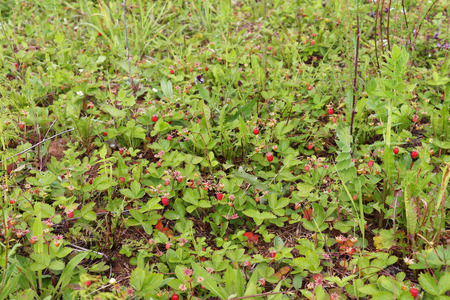 wild strawberry: The wild strawberry grows on a glade