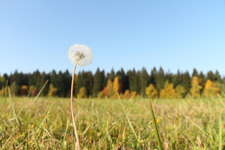 salubrious: The dandelion in dew drops standing in the field Stock Photo