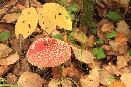 Mushroom a fly agaric among leaves on an autumn glade photo