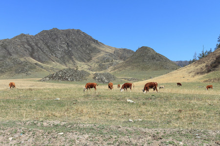 grazed: Cows are grazed on a pasture against the sky and mountains Stock Photo