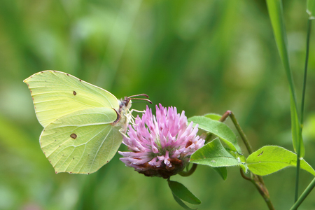 gonepteryx: The yellow butterfly sitting on a lilac flower of a clover in summer day against the sky