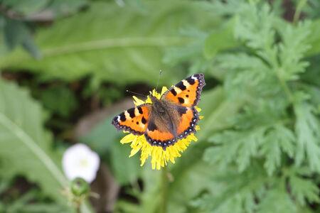 pokrzywka: Pokrzywka Motyl siedzi na żółty kwiat wśród trawy